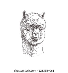 Vector hand drawn alpaca face isolated on white. Hand drawn illustration of cute lama in sketch style.
