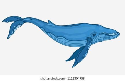 Vector hand drawn blue whale.