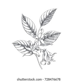 Vector hand drawn botanical illustration of ylang-ylang branch. Tropical flowers in sketch style