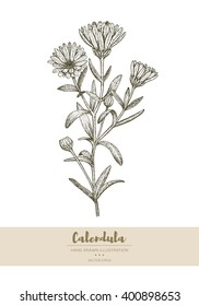 Vector hand drawn calendula plant illustration.