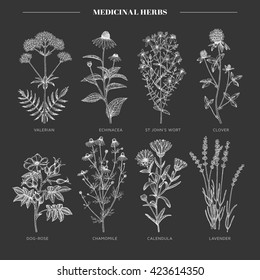 Vector hand drawn collection of medicinal, cosmetics herbs. St. John's Wort, echinacea, lavender, valerian, chamomile, calendula, dog-rose, clover plants.
