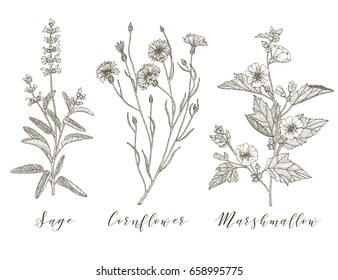 Vector hand drawn collection of medicinal, cosmetics herbs and plants. Sage Cornflower and Marshmallow.