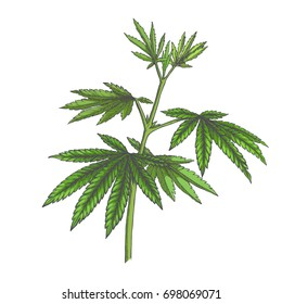 Vector hand drawn color botanical illustration of hemp. Cannabis green branch with leaves in sketch style isolated on white.