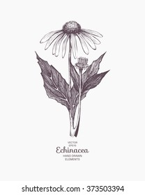 Vector hand drawn echinacea illustration. Vintage echinacea flower sketch. Botanical drawing