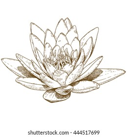 Vector hand drawn engraving illustration of water lily flower isolated on white background