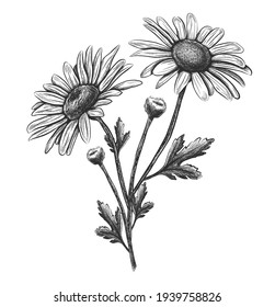 Vector hand drawn flower camomile. Isolated on white background.