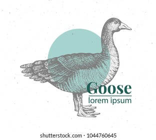 Vector hand drawn goose illustration. Retro engraving style. Sketch farm animal drawing. Duck logo template.
