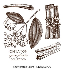Vector hand drawn illustration of Cassia on white background. Kitchen spice sketch.  Vintage cinnamon bark drawing.