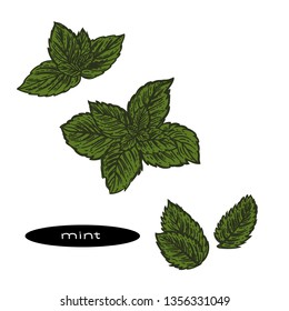 Vector hand drawn illustration of color mint leaves.