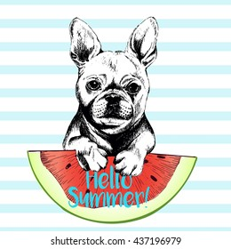 Vector hand drawn illustration of french bulldog dog eating the watermelon slice. Hello summer. Isolated on light blue strips. fresh fashion vibrant summer poster.