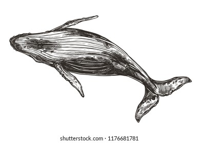 Vector hand drawn illustration of humpback whale. Sketch style