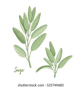 Vector hand drawn illustration of sage plant isolated on white background