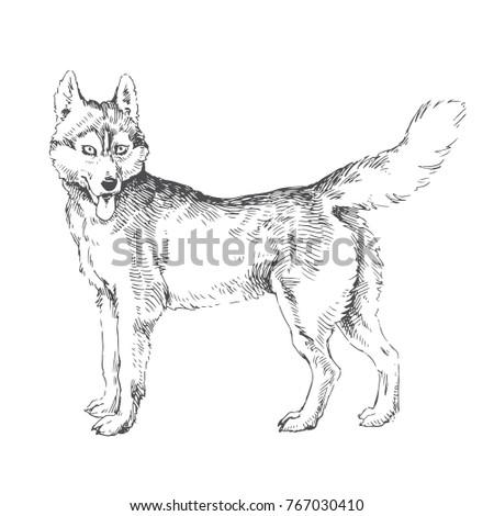 Vector Hand Drawn Illustration Siberian Husky Stock Vector Royalty