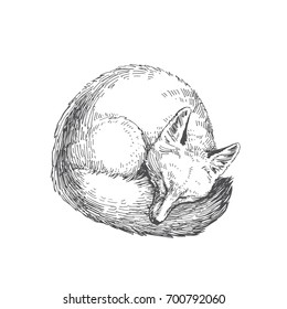 Vector hand drawn illustration of sleeping fox isolated on white background. Cute forest animal in sketch style