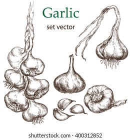 Vector hand drawn illustration with spice garlics isolated on white background.  Design elements for processing vegetables shops, restaurants menu, agricultural fairs.