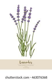 Vector hand drawn lavender plant illustration.