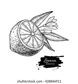 Vector hand drawn lemon or lime fruit with flower and leaf on branch. Tropical summer fruit engraved style illustration. Detailed citrus drawing. Great for water, juice, detox drink, natural cosmetics