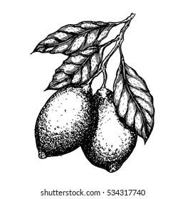 Vector hand drawn lemon or lime fruit leafs on branch. Fruit engraved style illustration.