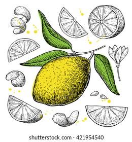 Vector hand drawn lemon set. Whole lemon, sliced pieces, half, leafe and seed sketch. Tropical summer fruit engraved style illustration.