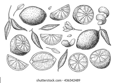 Vector hand drawn lemon set. Whole lemon, sliced pieces, half, leaf and seed sketch. Tropical summer fruit engraved style illustration. Detailed citrus drawing Great for tea, juice, natural cosmetics