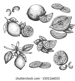 Vector hand drawn lime or lemon set. Blossom plant with leaves Sliced lemons sketch Lemon isotated on white background Illustration for lemonade Vintage retro style drawing for tea, juice, cosmetics