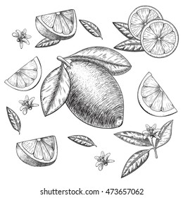 Vector hand drawn lime or lemon set. Whole lemon, sliced pieces half, leave sketch. Fruit engraved style illustration. Detailed citrus drawing. Great for water, detox drink, natural cosmetics