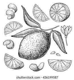 Vector hand drawn lime set. Whole lime, sliced pieces, half, leaf and seed sketch. Tropical summer fruit engraved style illustration. Detailed citrus drawing.