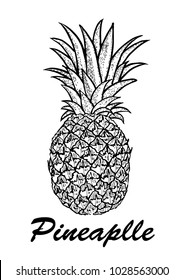 Vector hand drawn pineapple. Exotic tropical fruit vector drawings isolated on white background. Botanical illustration of fruits.