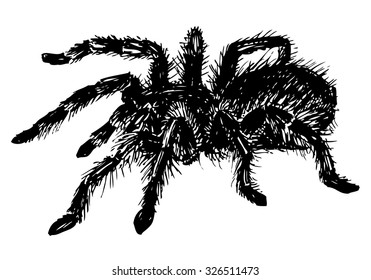 Vector hand drawn realistic tarantula spider. Ink drawing isolated on white background