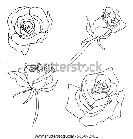 Vector Hand Drawn Roses Rose Buds Stock Vector Royalty Free