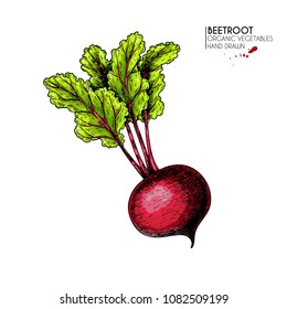 Vector hand drawn set of farm vegetables. Isolated beetroot with haulm. Engraved colored art. Organic sketched vegetarian objects. Use for restaurant, menu, grocery, market, store, party.