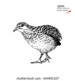 Vector hand drawn set of farm animals. Isolated quail bird. Engraved art. Organic sketched farming birds. Use for restaurant, menu, grocery, market, store, party, meal