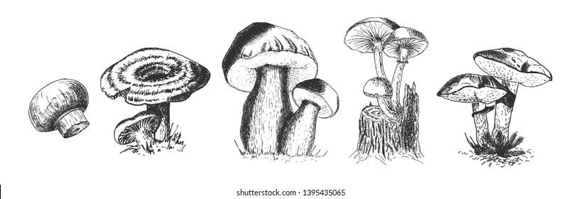 Vector hand drawn set of wild forest mushrooms. Penny Bun, Saffron Milk Cap, Agaricus, common mushrooms, Suillus, Honey fungus. Isolated on white background.