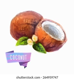 Vector hand drawn watercolor painting fruit coconut on white background.