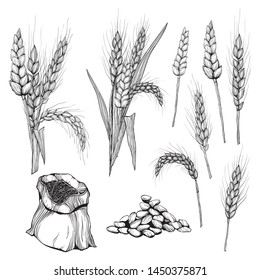 Vector hand drawn wheat ears Drawing of bunch of grain ears. Cereal illustration in vintage style. wheat grain,granule, kernel,corn,rye,barley,oats,pic,buckwheat,grass,bran