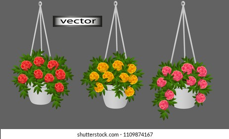 Vector. Hanging pots with cascading begonias Terry rose-like hanging flowers, flower pots, decorations hanging on the balcony of the veranda in the room in the house. Flowers for the interior.