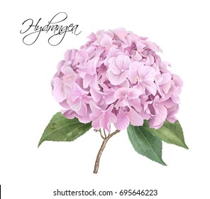 Vector highly detailed realistic illustration of pink hydrangea flower isolated on white. Can be used as wedding element, floral design for cosmetics, perfume, beauty care products, greeting cards