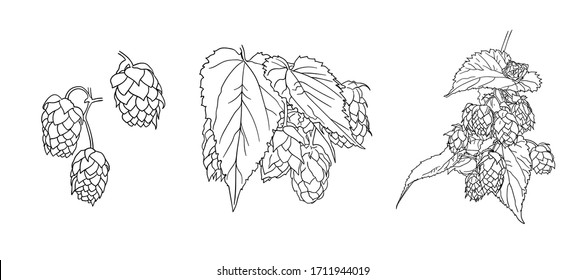 Vector hops plant sketches set isolated on white background, black outline drawings, illustration template, nature object.
