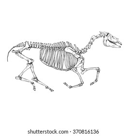 Vector horse skeleton illustration isolated on a white background. Full figure with skull