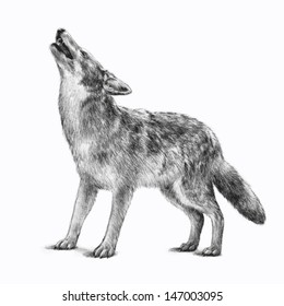 Vector of a howling gray timber wolf illustration isolated on a white background. This hand drawn sketch is of an endangered wild animal that is a symbol of a scary Halloween creature.