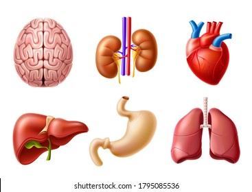 Vector human body anatomy internal organs realistic models set. Liver, brain, kidneys, heart and lungs set for education and pharmaceutical products design.