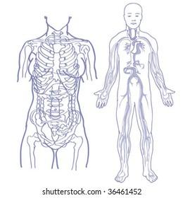 vector human body see-through