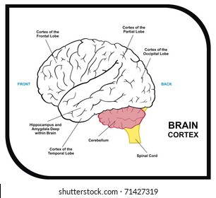 Human brain diagram including cortex frontal stock photo edit now vector human brain diagram including cortex of frontal partial occipital temporal lobes useful for education hospital ccuart Images