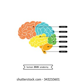 Vector human brain diagram.  Human brain diagram isolated on white background.  Human brain anatomy diagram. Vector human brain side view. Vector human brain in lineal flat style.