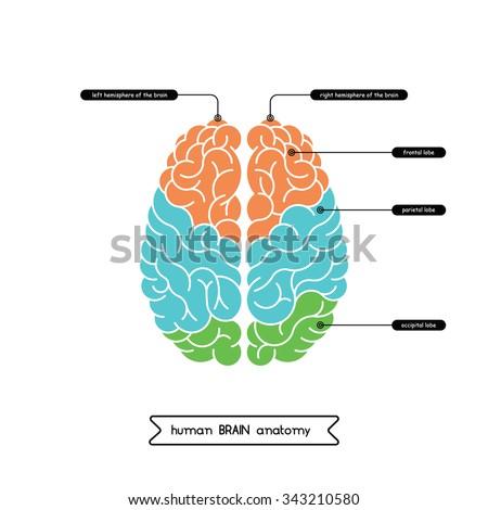 Vector Human Brain Diagram Human Brain Stock Vector Royalty Free