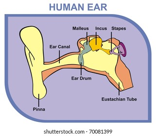 Ear canal images stock photos vectors shutterstock vector human ear including external middle outer ear parts are shown pinna ear canal ear drum ccuart Choice Image