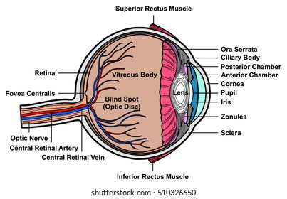 vector human eye cross section anatomy with all parts anatomical structure  artery, vein, nerve