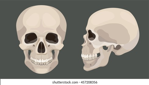Vector human skull side and front view anatomy illustration