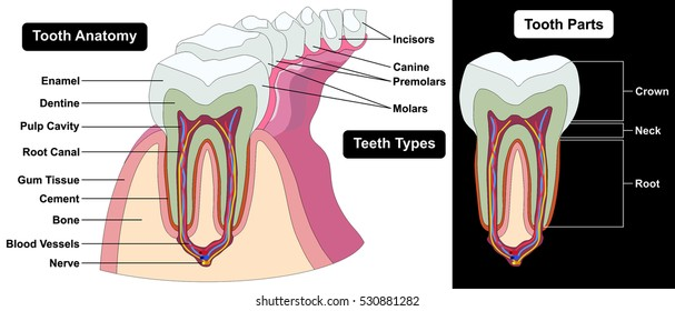 Human Tooth Cross Section Anatomy Enamel Stock Illustration