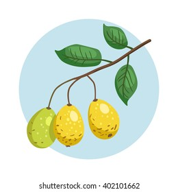 Vector icon of branch with marula fruits. Eco organic diet food. Exotic fruit of Africa - Sclerocarya birrea.